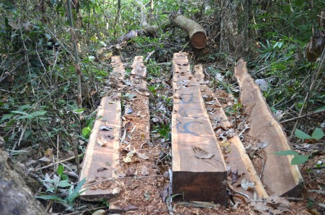 A recently logged and sawn Thnong tree in Virachey National Park, marked by loggers and ready to be hauled out to the Sesan River (Zsombor Peter/The Cambodia Daily)