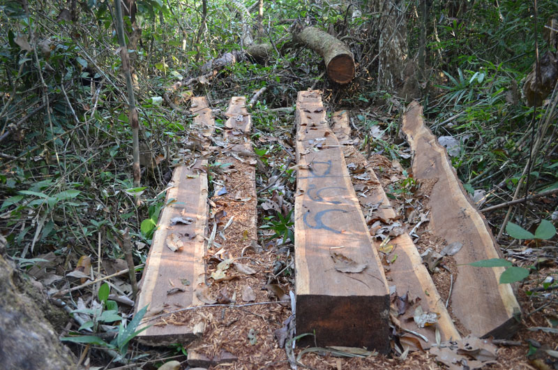 A thnong tree, felled and sawed in Virachey National Park in Ratanakkiri province late last year, is marked by loggers and ready to be hauled out to the Sesan River. (Zsombor Peter/The Cambodia Daily)