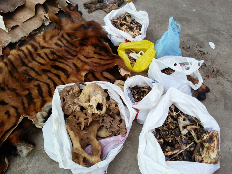 Tiger skins and other animal remains were found Monday during a raid on the Phnom Penh offices of the China Sichuan Chongqing Chamber of Commerce in Cambodia. (Ry Bun)